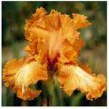 """Iris """"Cajun Rhythm"""""""