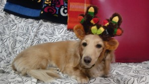 Kaz's canine, Reia, wearing Ruth's gift antlers with flashing lights