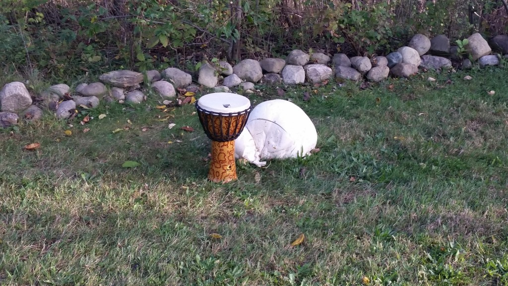 This giant puffball is larger than a basketball. (The other thing is a drum).